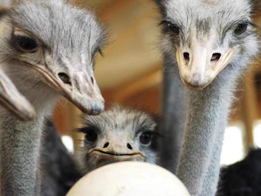 Ostriches looking at an ostrich egg.