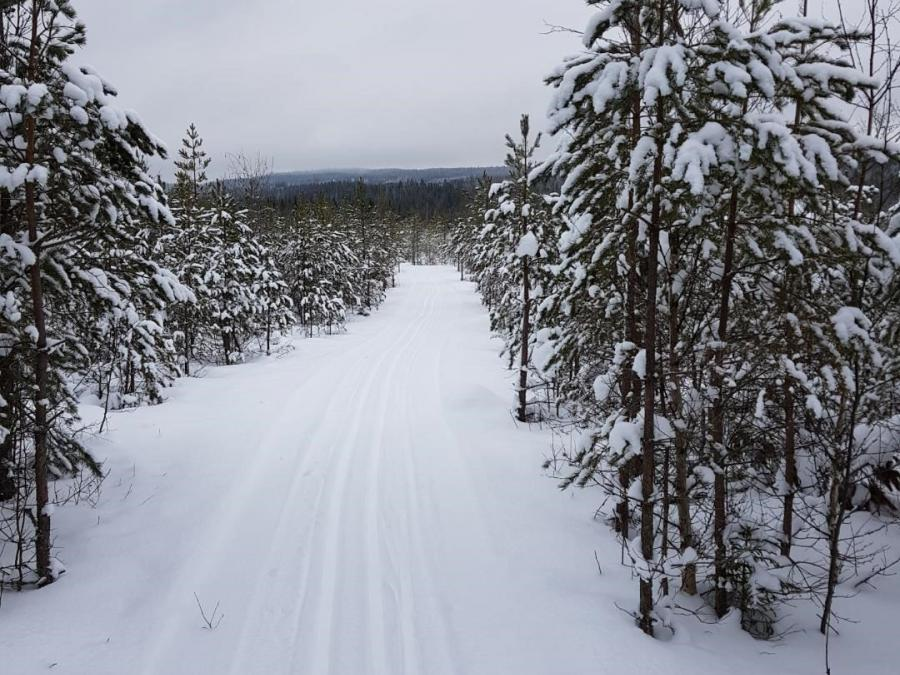 Skiing trails running between snowy pinetrees.